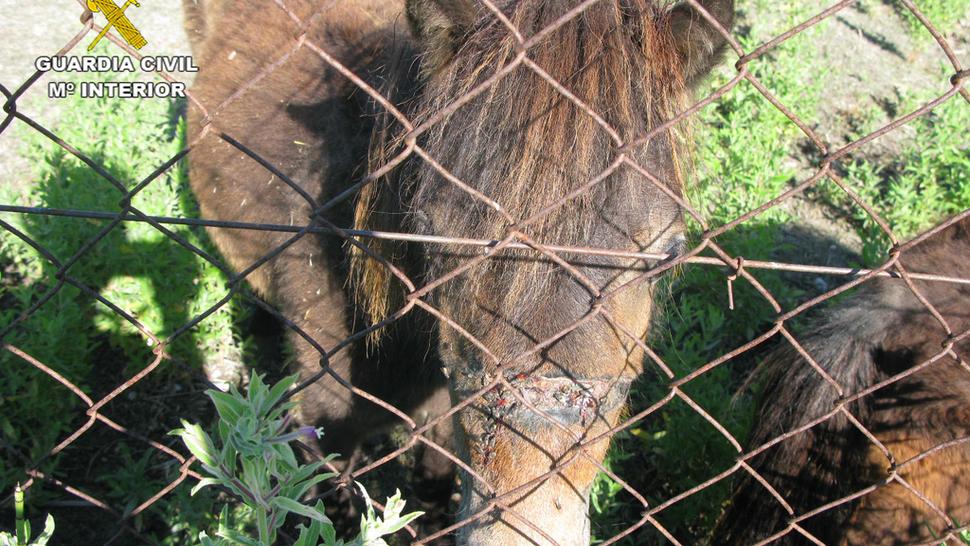 El imputado es propietario de unos animales abandonados y desnutridos en una finca de Padul. Foto: Guardia Civil